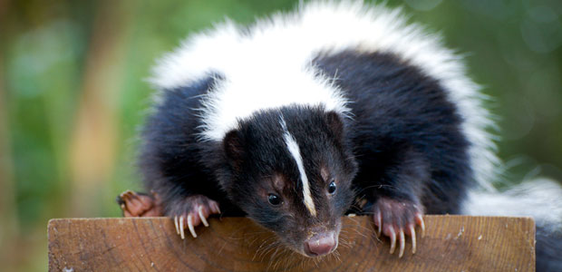 And the skunks.  We had so much fun with skunks.
