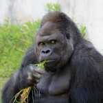 Attention Single Losers: Japanese Women are Fawning Over an Attractive Gorilla