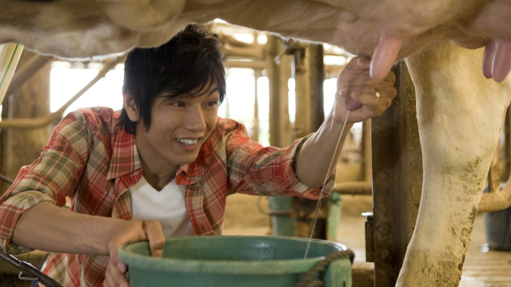 Asian Man Milking Cow