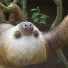 Two-Toed Sloth Picks Seattle Seahawks to Win Super Bowl XLIX