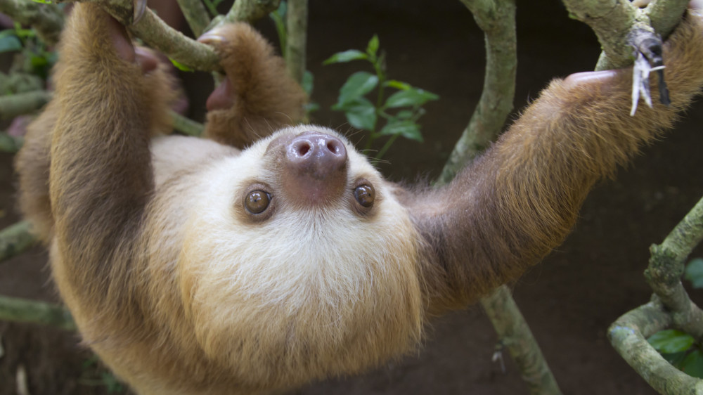 Marvin Two-Toed Sloth