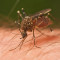 Mosquitoes Working on Ruthless New Disease for 2020 Tokyo Olympic Games
