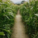 8 Things to Do When You Wake Up Bewildered in a Corn Maze