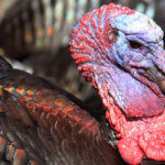Donald Trump Vows to Never Pardon Turkey, But Will Deport All Dark-Meat Birds