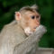 Clairvoyant Simian Considers Running for President in 2020