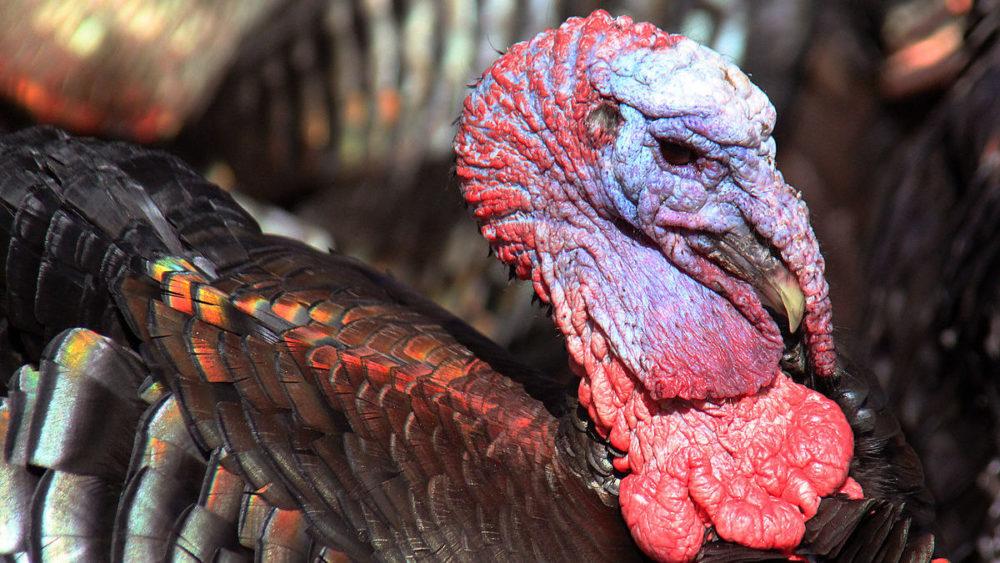 Donald Trump Vows to Never Pardon Turkey, But Will Deport All Dark-Meat Birds