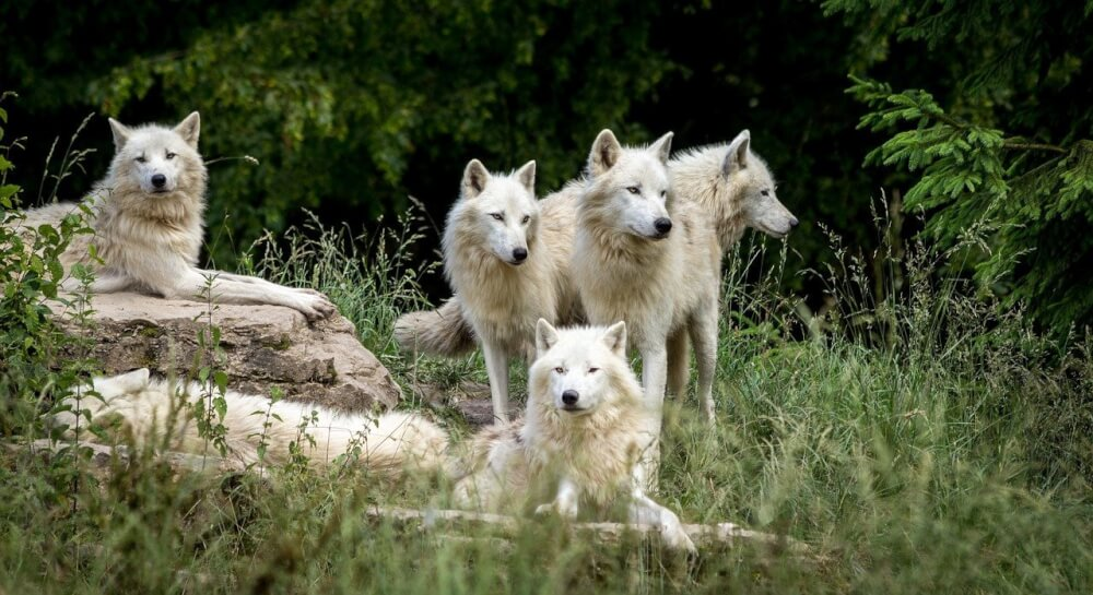Thanksgiving Gratitudes From Our Family, a Pack of Alaskan Wolves