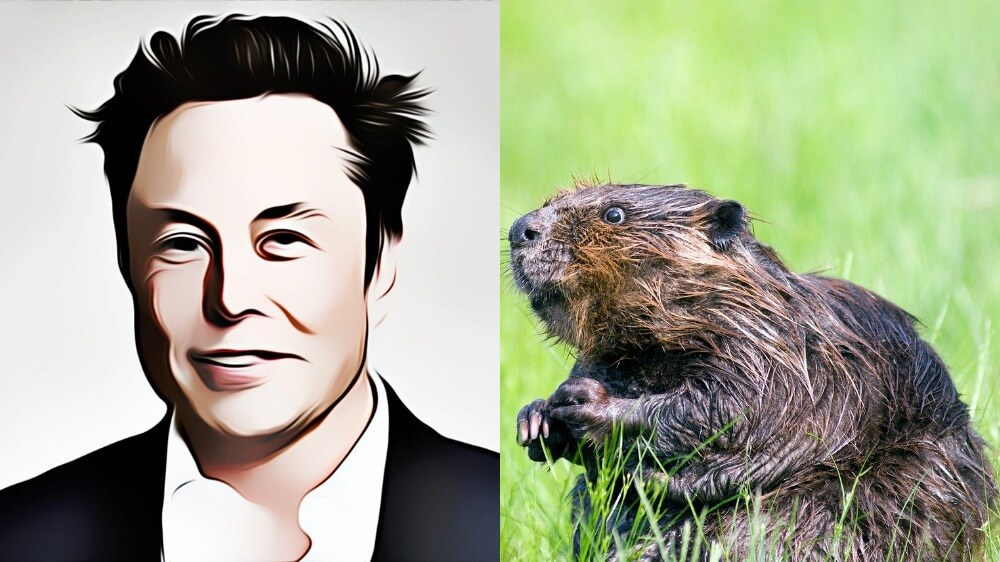 Who Would Be a Better SNL Host: Elon Musk or a Beaver with a Dark Secret?